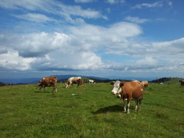 Cows at Velika Planina
