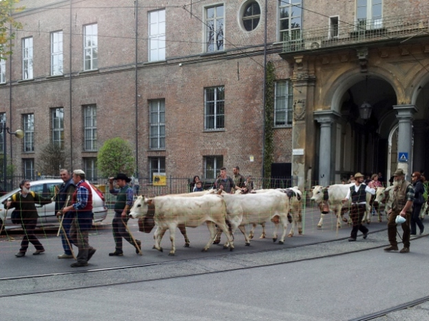 Cows in central Turin