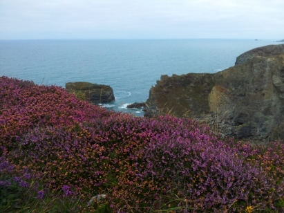 Heather and cliffs in Cornwall