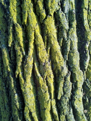 Lichen-covered tree bark
