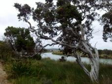 Paperbark tree near Ocean Beach, Denmark, Australia
